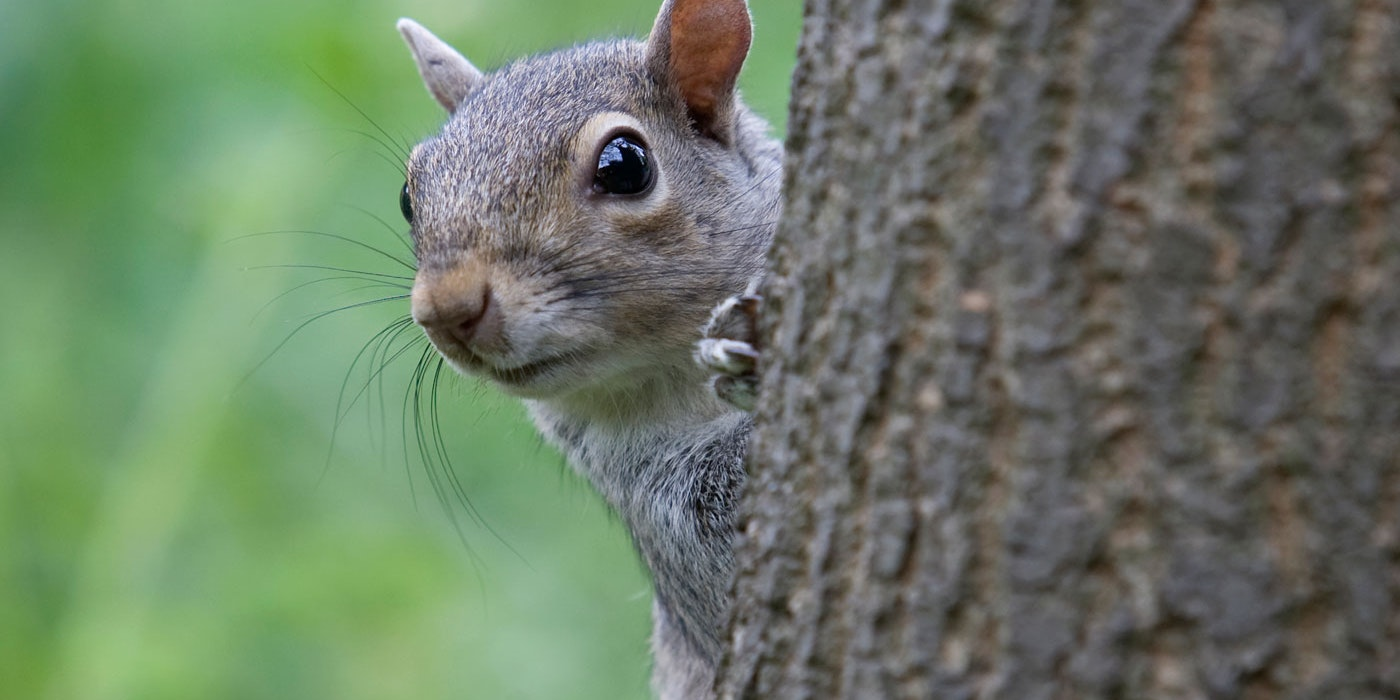 A London restaurant is serving grey squirrel lasagne